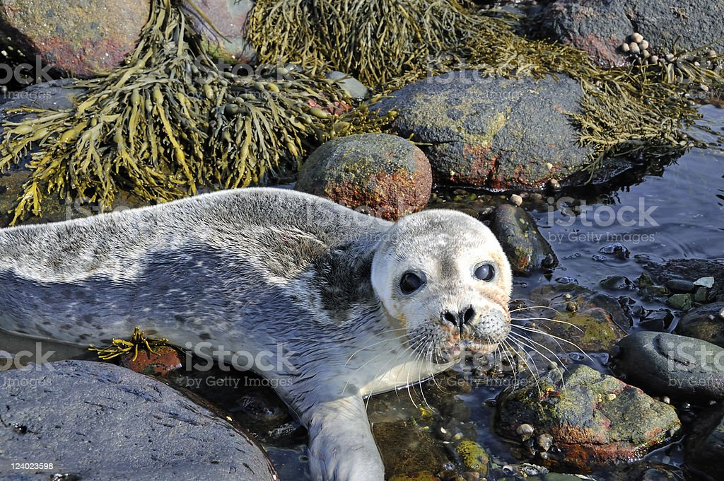 Cute but Scared Harbor Seal Pup stock photo