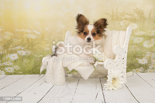 Cute butterfly dog puppy sitting on a doll bench with a flower background