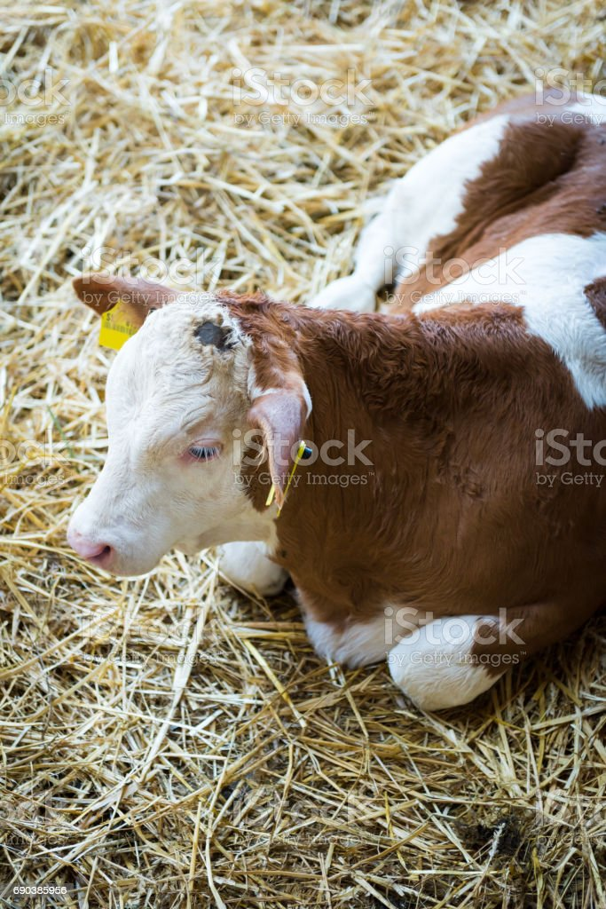 Cute calf, baby cow, agriculture industry, farming and husbandry concept stock photo