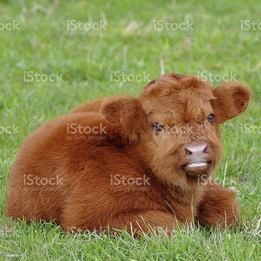 cute calf young calf of highland kyloe cattle Animal Stock Photo