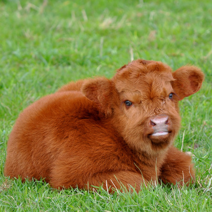 Cute Calf Stock Photo - Download Image Now