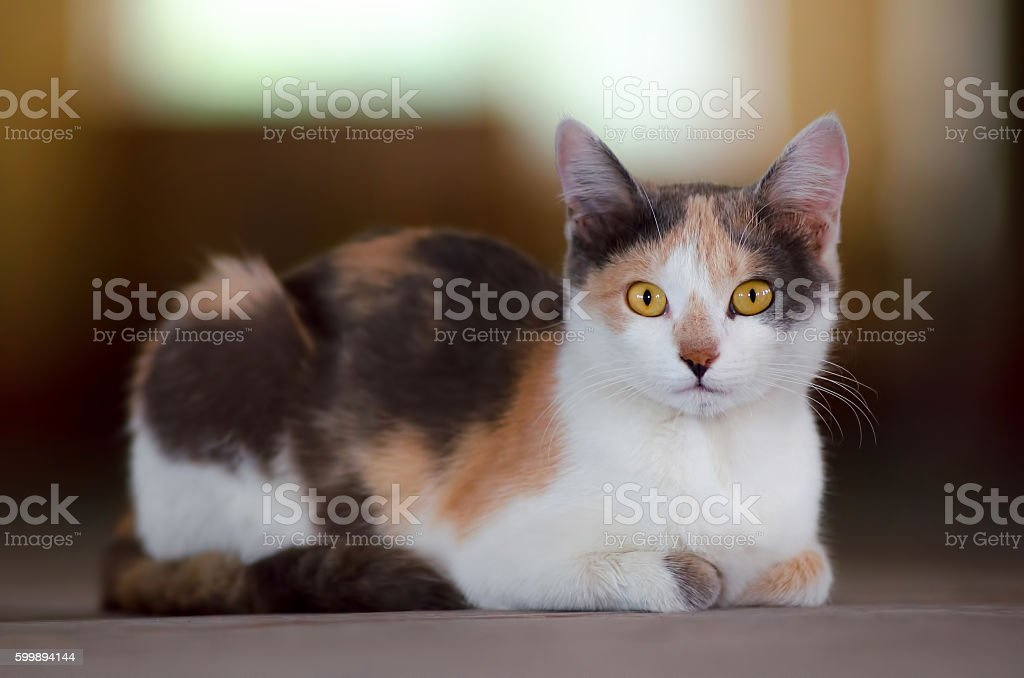 Cute calico cat stock photo
