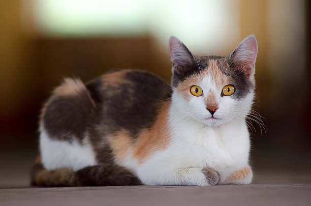 Cute calico cat Cute calico cat in attention tortoiseshell cat stock pictures, royalty-free photos & images