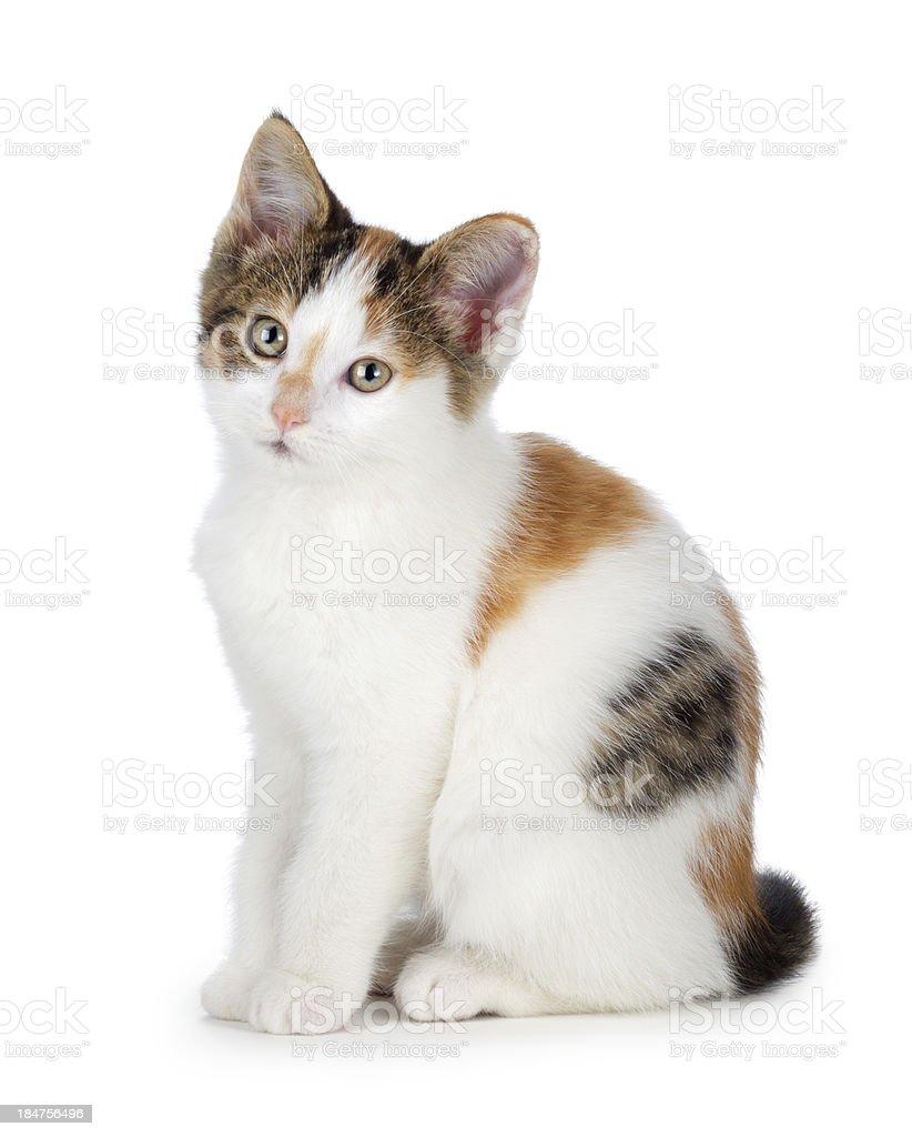 Süße Calico Katze Auf Einem Weißen Hintergrund Stock-Fotografie und ...
