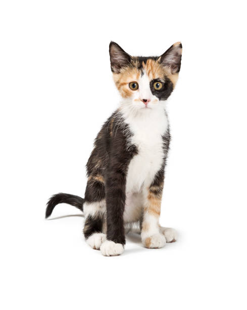 Cute Calico Kitten Sitting Looking Forward Isolated Cute young Calico kitten sitting on white background facing and looking forward tortoiseshell cat stock pictures, royalty-free photos & images
