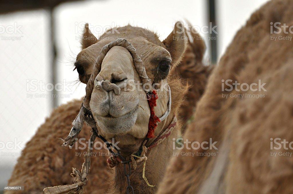 Cute camel in a desert stock photo