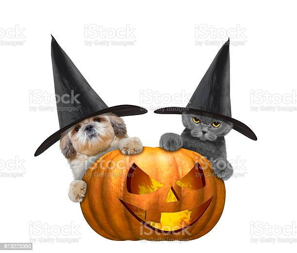 Cute cat and dog in a costume with halloweens pumpkin picture id613223350?b=1&k=6&m=613223350&s=612x612&h=rwa8ol hjw1 3dywcui8tf4d5jgthgqhseizxyumrwk=