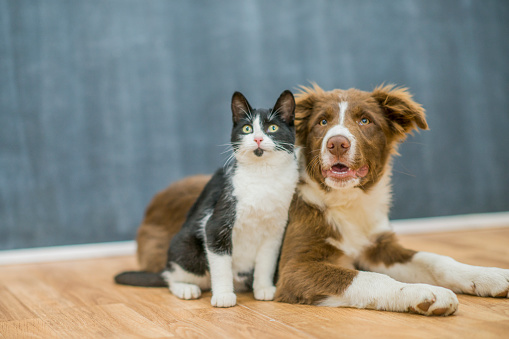 A black and white cat is sitting next to a brown and white border collie. The animals are on wood flooring in an indoor studio.