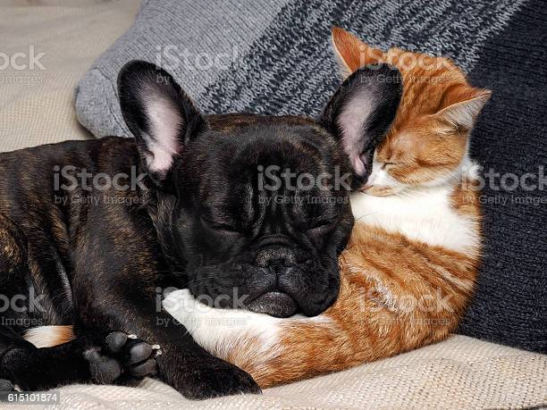 Cute cat and dog sleeping together picture id615101874?b=1&k=6&m=615101874&s=612x612&h=ulnul9ixe24kewyj4 zoqkmcujlylgdk39pdmhd790i=