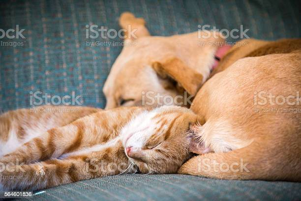 Cute cat and dog together lying in the bed picture id564601836?b=1&k=6&m=564601836&s=612x612&h=jjhucqrtua8af subyqmojemiptq61u2njxc3dbyjvq=