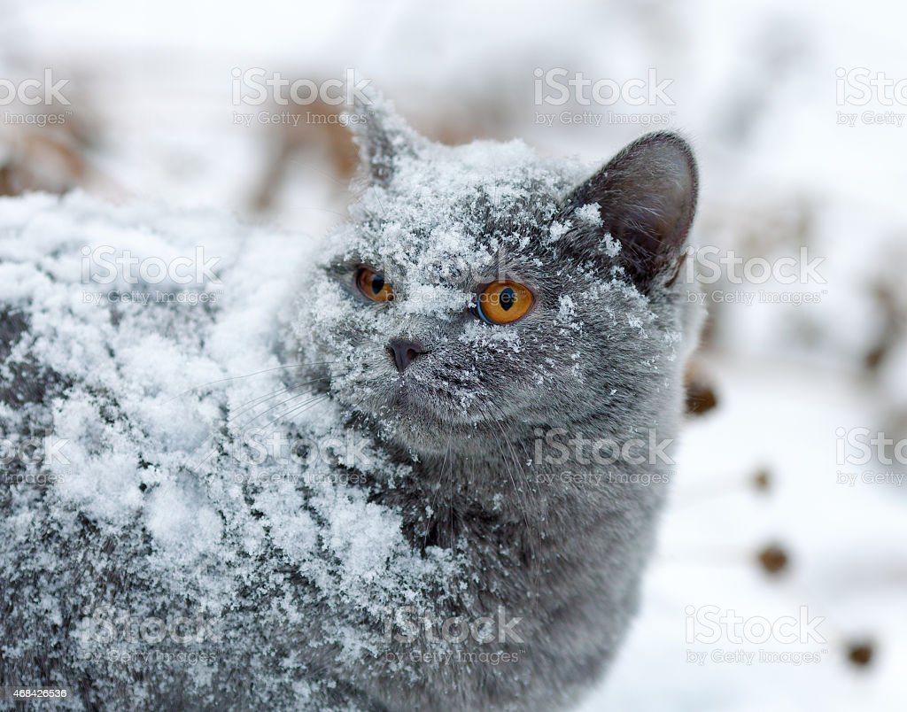 Cute cat covered with snow walking outdoors in winter stock photo