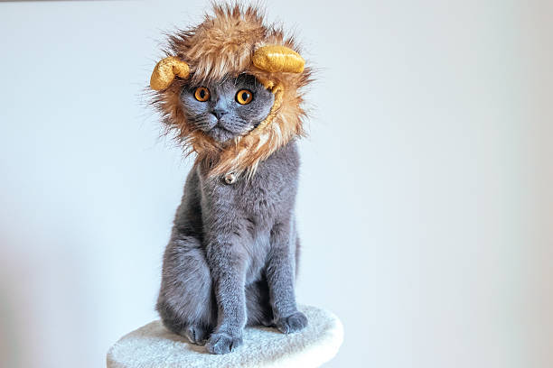 cute cat dressed up as a lion - otämjd katt bildbanksfoton och bilder