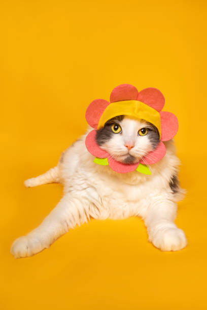 Cute Cat in Flower Hat on Yellow An adorable white and gray cat wearing a flower hat photographed on a yellow background. sdominick stock pictures, royalty-free photos & images
