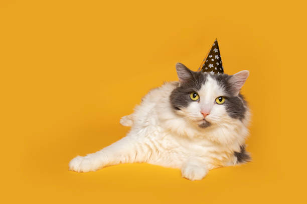Cute Cat in Party Hat on Yellow An adorable white and gray longhair cat in a party hat on yellow with lots of copy space. sdominick stock pictures, royalty-free photos & images