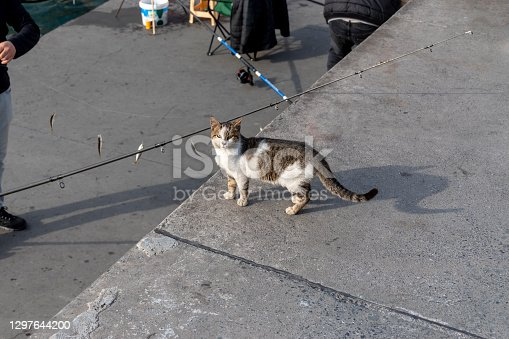 istock cute cat is waiting for fish from fishermen 1297644200