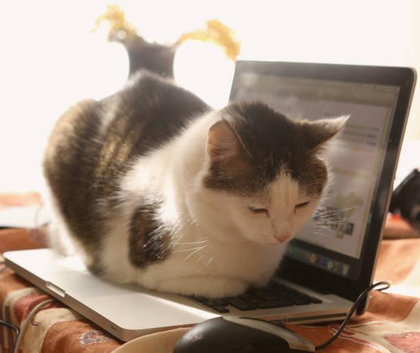 süße katze lag auf laptop-tastatur auf dem tisch ruhen - suche katze stock-fotos und bilder
