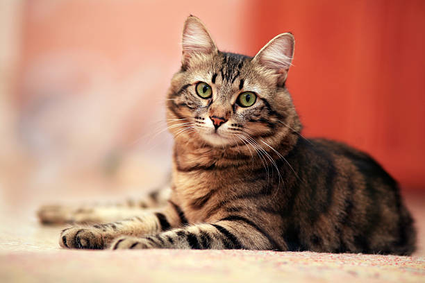 Cute cat laying down picture id94324862?b=1&k=6&m=94324862&s=612x612&w=0&h= oqootekveg057xfqfmxzutq8ot2vlgdecl2llxbitq=