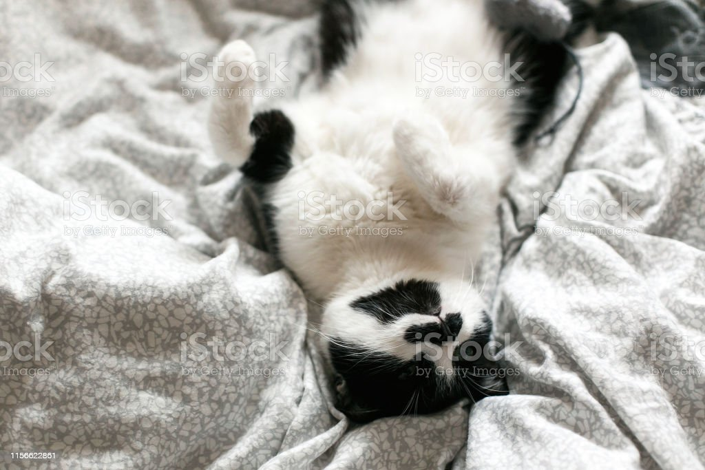 Cute cat lazy lying on white bed. Sweet black and white kitty with...