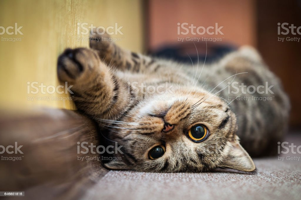 Cute cat lying on his back  the carpet. Breed British mackerel with yellow eyes and a bushy mustache. stock photo