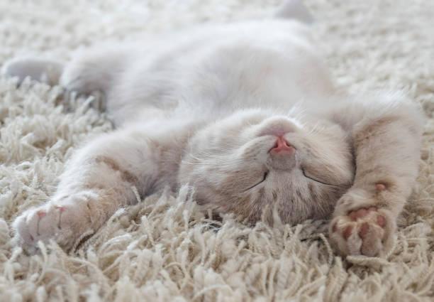 joli chat couché sur le dos comme sur un tapis - faire un somme photos et images de collection