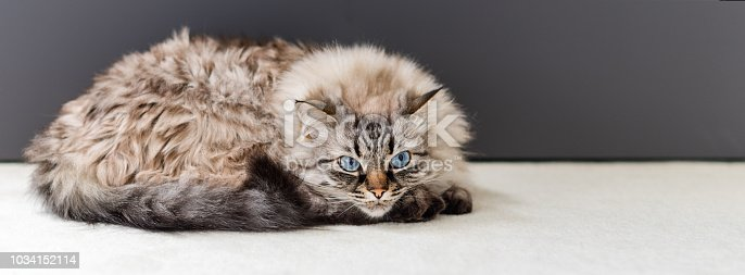 Cute cat lying on the carpet. Neva Masquerade Cat.