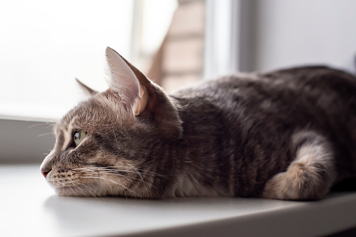 Cute cat lying on the windowsill and sadly looking out the window.