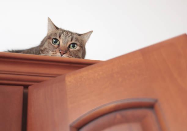 süße katze guckt aus dem schrank, wo sie versteckt ist - katzenschrank stock-fotos und bilder