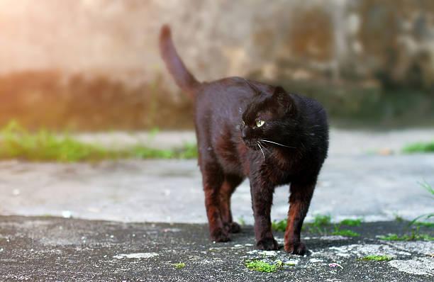 banco de imagens e fotos de gato bravo de patas negras istock