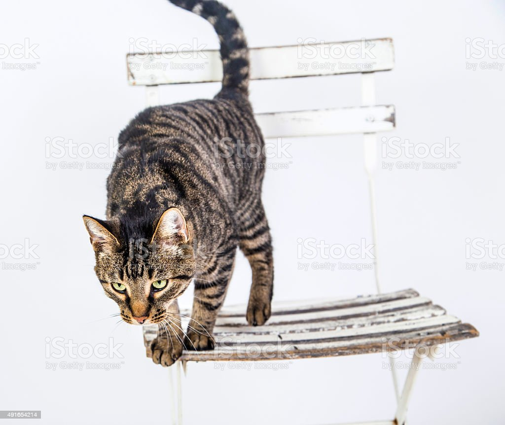 cute cat poses on an old chair stock photo