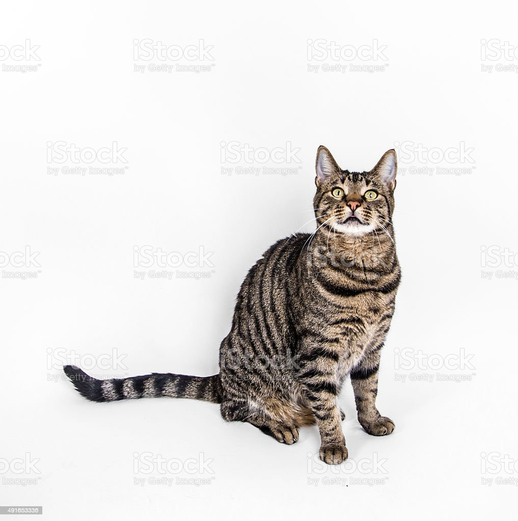 cute cat poses on white background stock photo