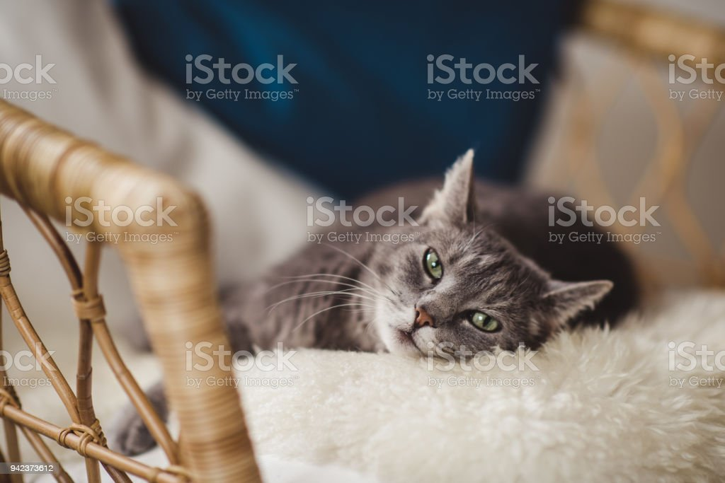 Cute cat relaxing in sofa stock photo