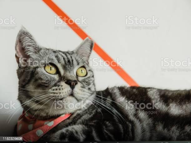 Cute cat rest on table closeup view picture id1152325608?b=1&k=6&m=1152325608&s=612x612&h=bpeyl1ceeohrod93szzgh4igrcox2565njhwkgqane0=