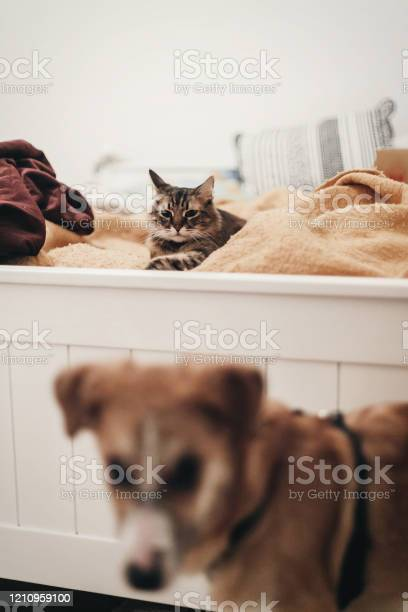 Cute cat resting on yellow bed in stylish room with dog space for picture id1210959100?b=1&k=6&m=1210959100&s=612x612&h=tikfnfcsfnyxzriv6hnh5uxxteo4853ndkenr8lhoim=