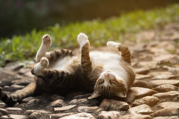 Cute cat rolling on floor picture id857068366?b=1&k=6&m=857068366&s=612x612&w=0&h=phfsfdw7jlhs bnjxe3ujjmpl 6w2vsni6n7ydd5b58=