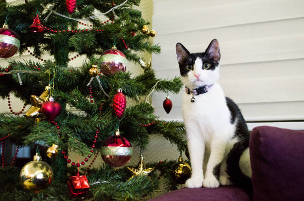 Cute cat sitting close to christmas tree picture id925541952?b=1&k=6&m=925541952&s=612x612&w=0&h=zwkurpsbyqyocczup35lpubf9o9xkwjpxtiaaioyj6i=