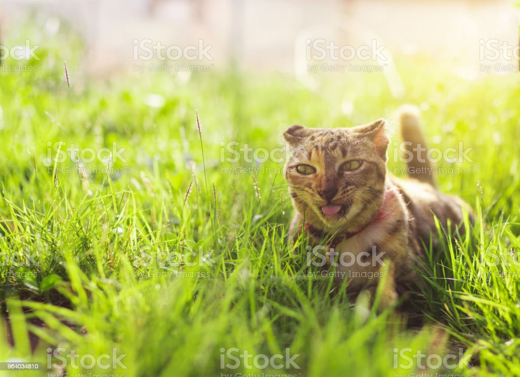 Cute cat sitting in a green grass. Best friend concept - Royalty-free Agricultural Field Stock Photo