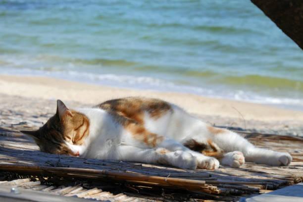 Cute cat sleeping on the beach in spring picture id992808022?b=1&k=6&m=992808022&s=612x612&w=0&h=loy 4kiryegie61sq7e9kzrrz1lqrnjqi6uq9gkkv2u=