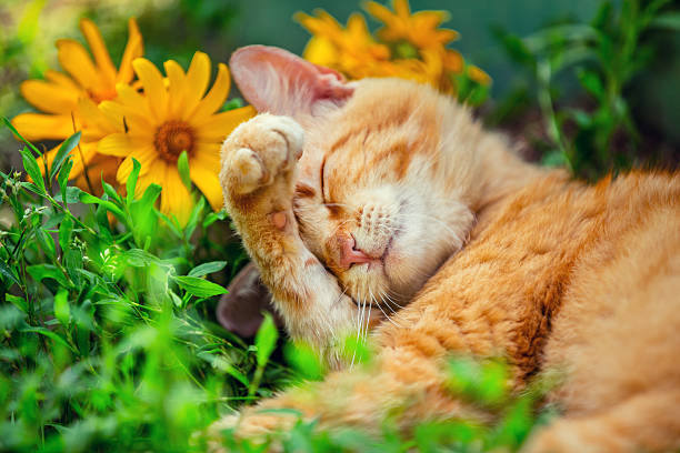 Cute cat sleeping on the grass with flowers picture id576553746?b=1&k=6&m=576553746&s=612x612&w=0&h=pyjj4epxmuq0nt3  da516fizma5jexht1evbrwhwwa=