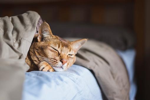 Cute cat sleeping under blankets in bed
