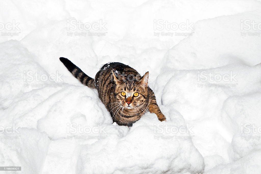 cute cat strollingh through snow in winter stock photo