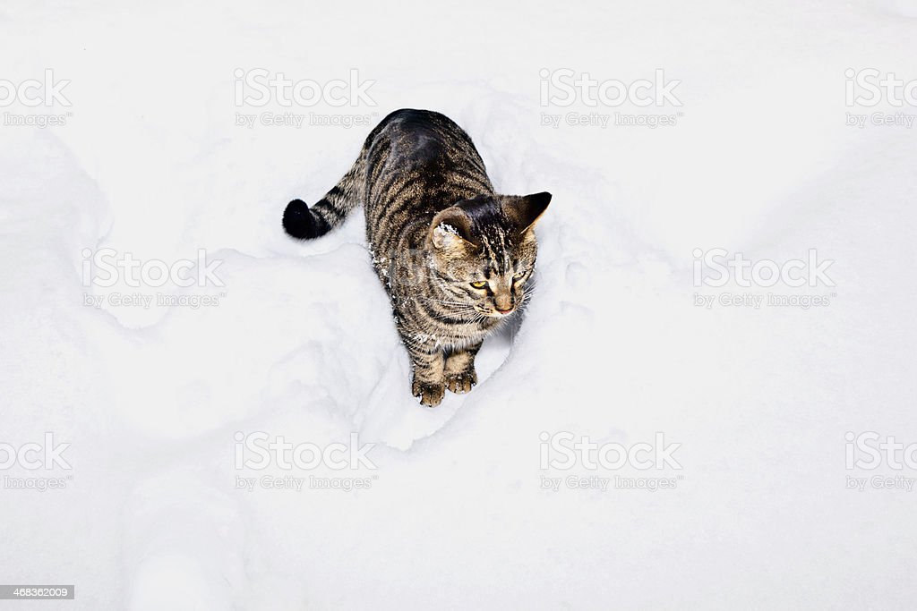 cute cat strollingh through snow in winter stock photo
