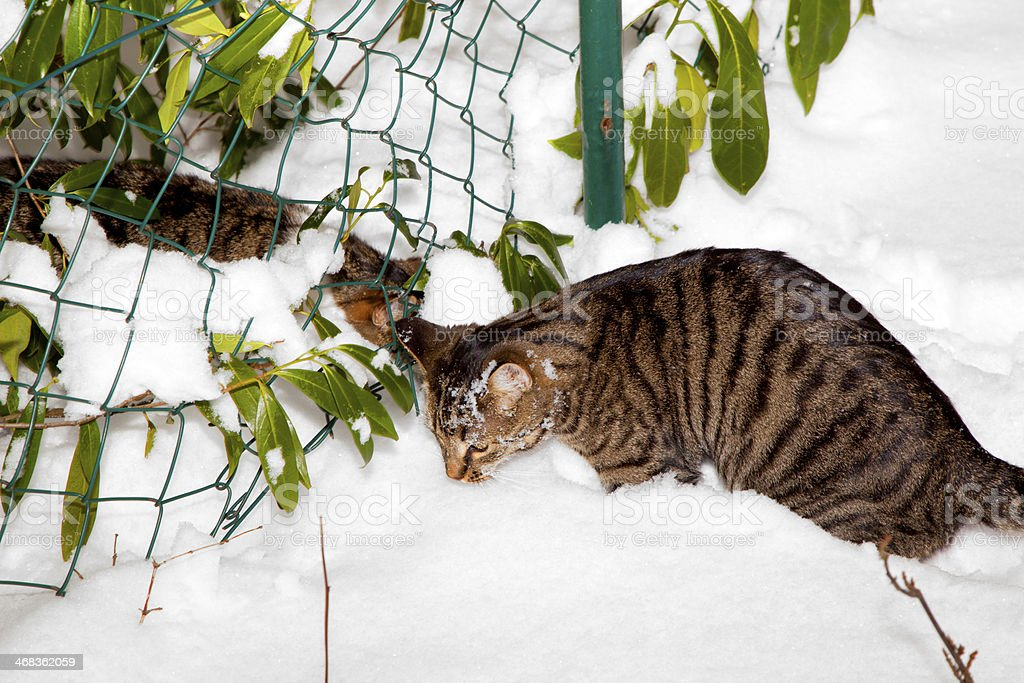 cute cat strollingh through snow in winter royalty-free stock photo