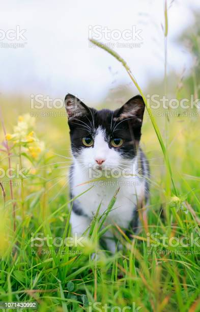 Cute cat walking on a sunny green meadow and scared bent back picture id1071430992?b=1&k=6&m=1071430992&s=612x612&h=vee105rscee6eomawfly60bss9otoqxcugkaoh859oo=