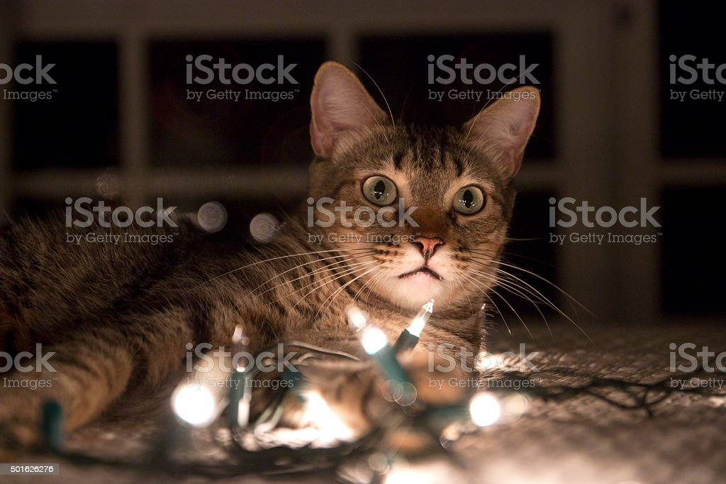 Cute cat with Christmas lights stock photo