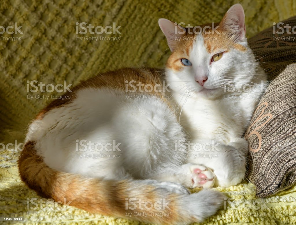 Cute cat with different eye colors, heterochromia, resting on sofa. royalty-free stock photo