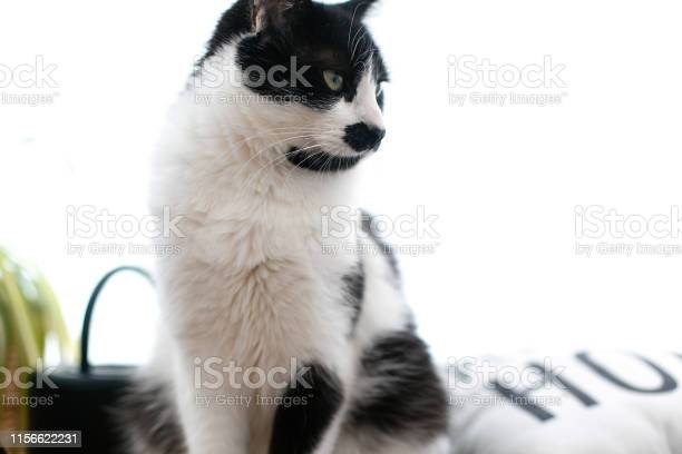 Cute cat with mustache sitting and relaxing on bed funny black and picture id1156622231?b=1&k=6&m=1156622231&s=612x612&h=tjrucxiznaji sf12wdfi moew8p a7szgvhvnwpv i=