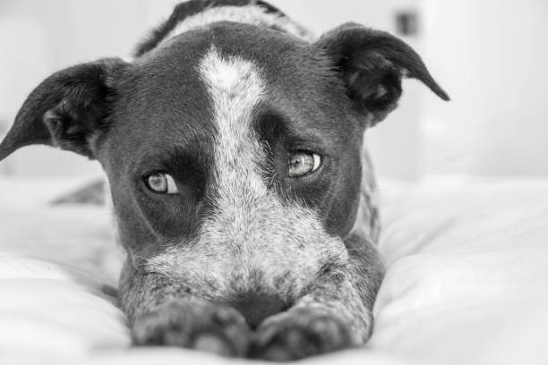 Cute Cattle Dog stock photo