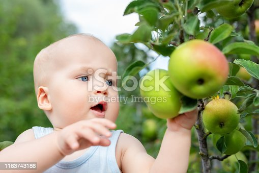 Cute caucasian baby boy picking up fresh ripe green apple from tree in orchard in bright sunny day. Funny child looking at delicious fruit and want to eat it.