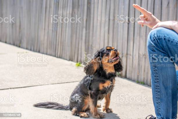 Cute cavalier king charles spaniel in a training session picture id1023845748?b=1&k=6&m=1023845748&s=612x612&h=ixcltt haihur9xjqbinygqjlclpo6x4gri02cjww1e=