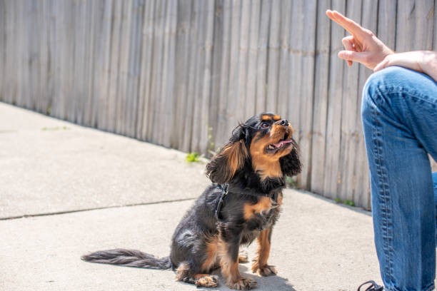 Cute Cavalier King Charles Spaniel in a training session stock photo